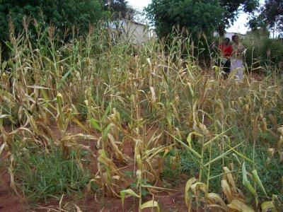 Zambian Crops