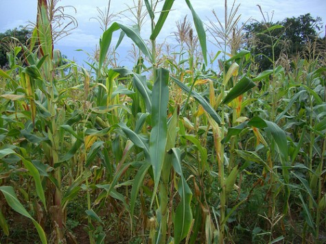 Maize - the staple diet for Zambians